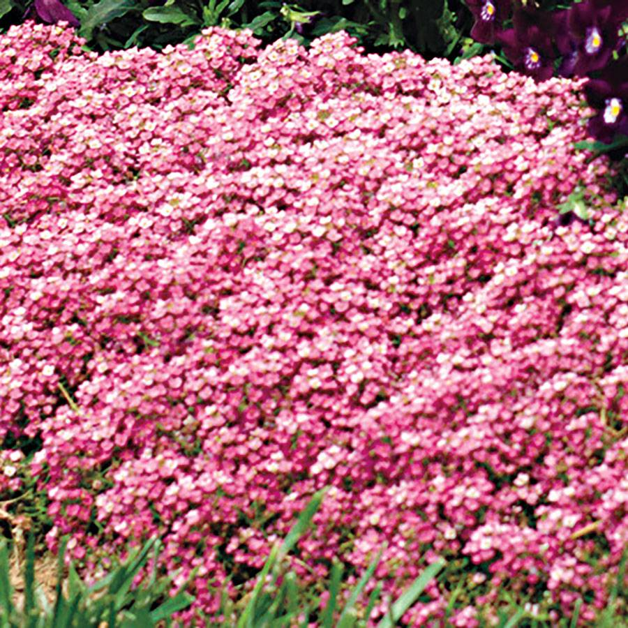 Easter Bonnet Deep Pink Sweet Alyssum Seeds From Park Seed