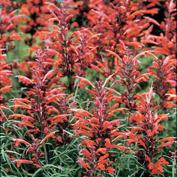 Giant Hyssop Seeds Image