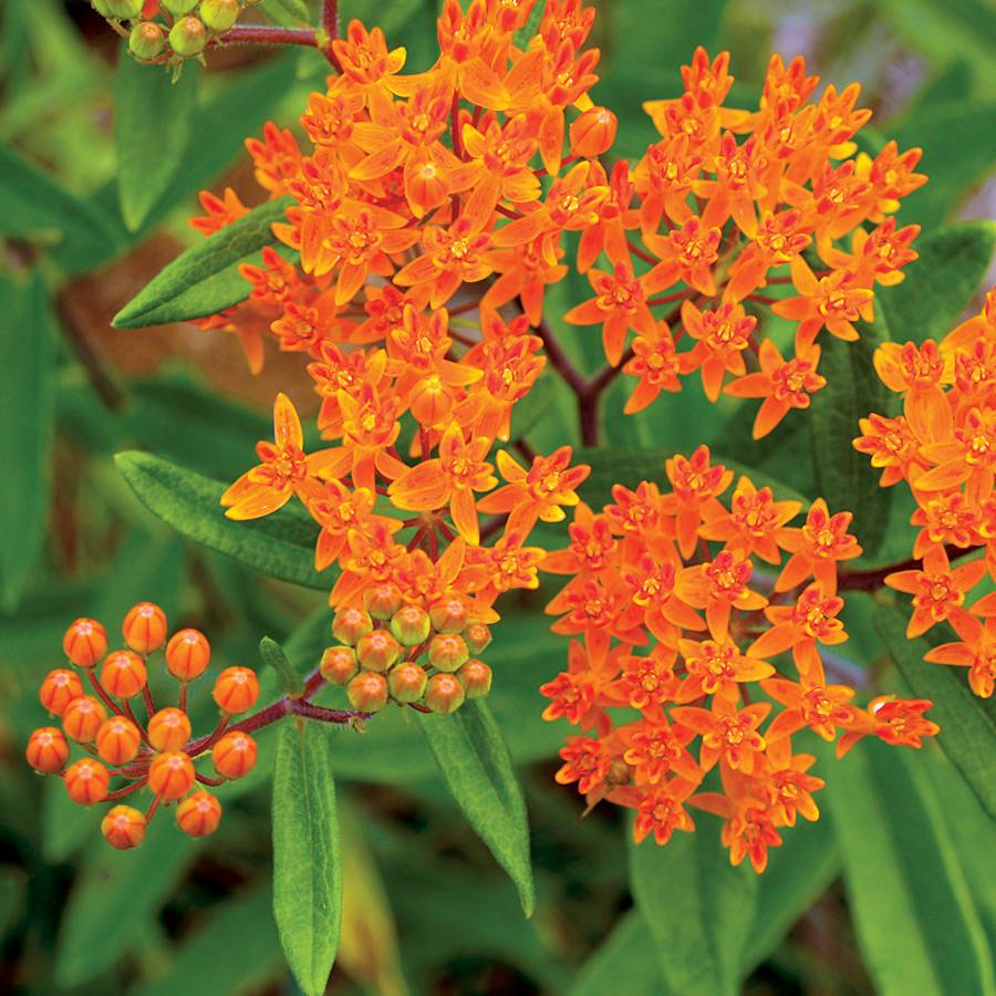 Butterfly Weed Seeds Image
