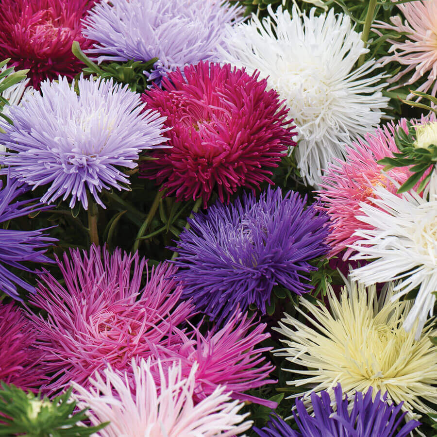 'Starlight Mixed' Aster Seeds Image