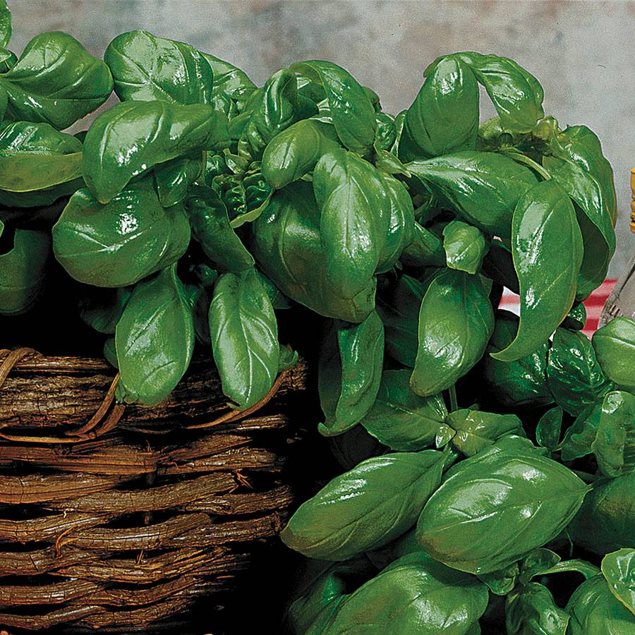 Large Leaf Italian Basil Seeds From Park Seed