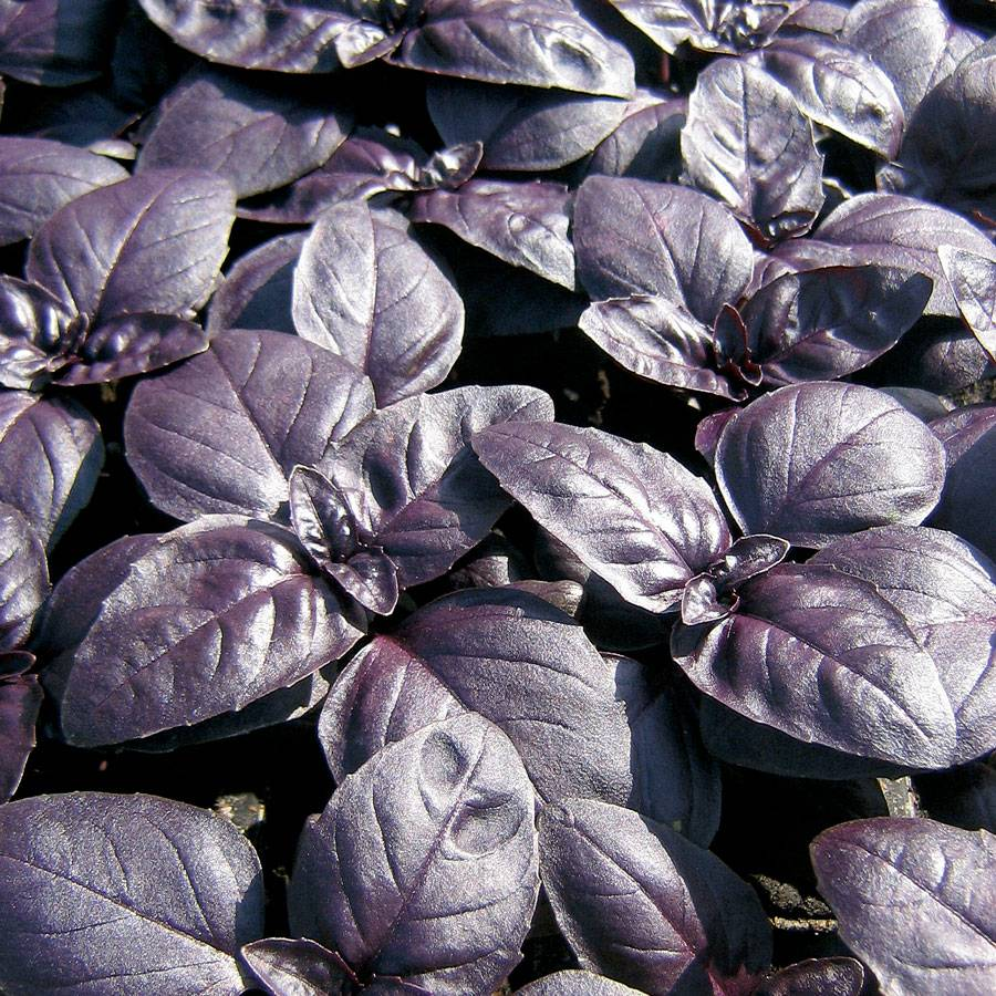 Crimson King Basil Seeds From Park Seed