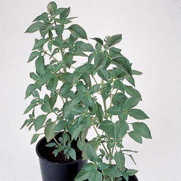 Sweet Dani Lemon Basil Seeds Image