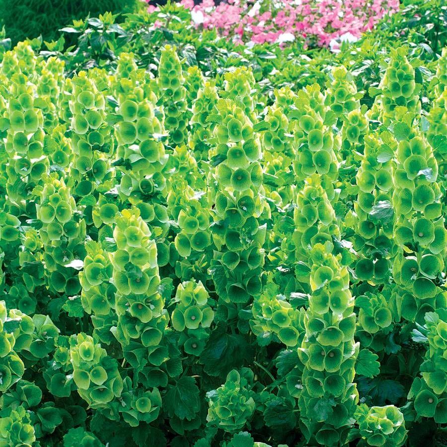 Bells Of Ireland Seeds Image