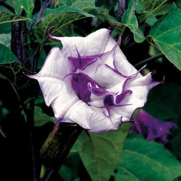 Ballerina Purple Angels Trumpet Seeds From Park Seed