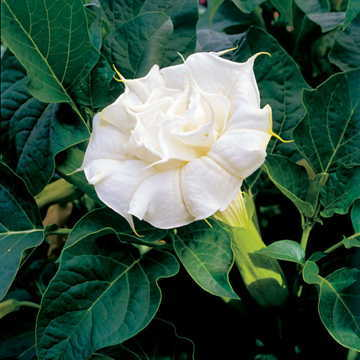 Ballerina white angels trumpet seeds from park seed ballerina white angels trumpet seeds mightylinksfo