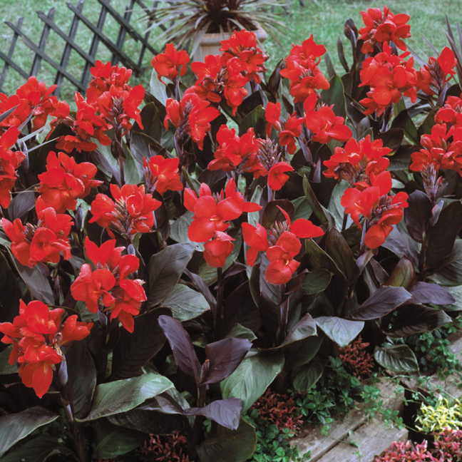 Tropical bronze scarlet canna flower seeds mightylinksfo