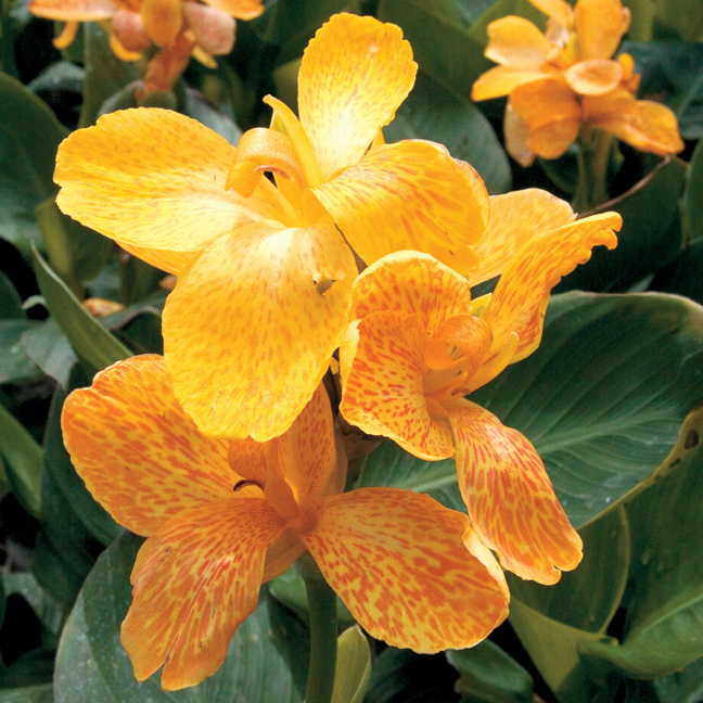 Tropical yellow canna seeds from park seed for Polygonalplatten quarzit tropical yellow