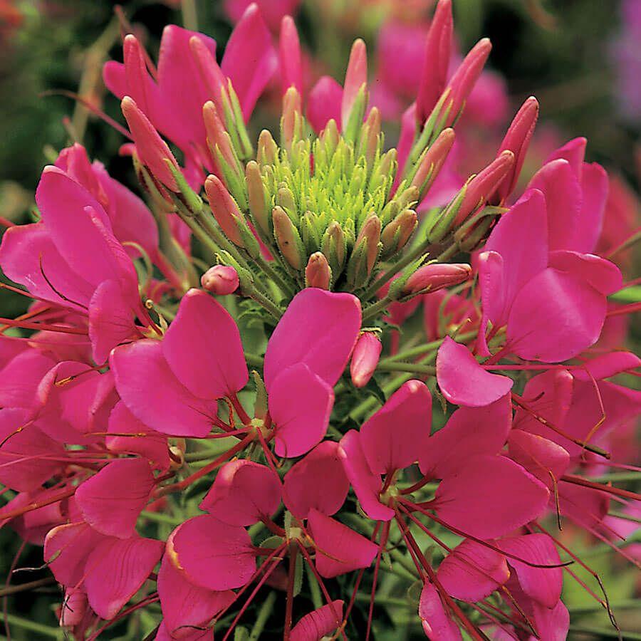 Sparkler Rose Spider Flower Seeds Image