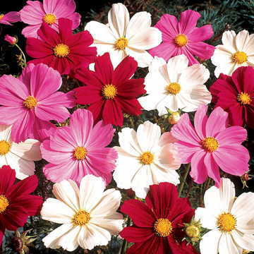 Gazebo Mix Cosmos Flower Seeds