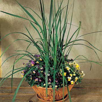 Spike Cordyline Seeds Image