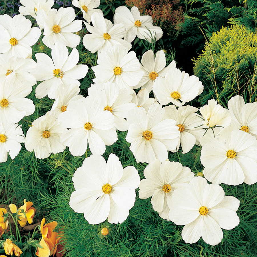 Sonata white cosmos flower seeds mightylinksfo