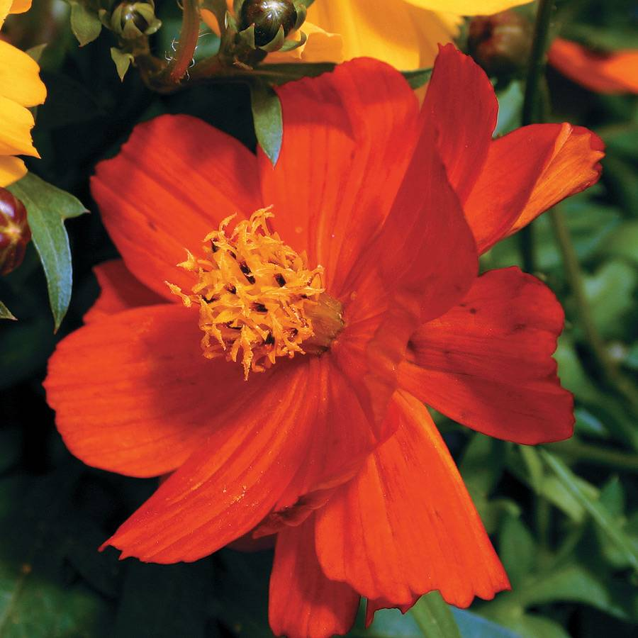Cosmic red cosmos seeds from park seed cosmic red cosmos seeds izmirmasajfo Gallery
