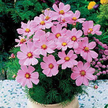 Sonata Pink Blush Cosmos Flower Seeds