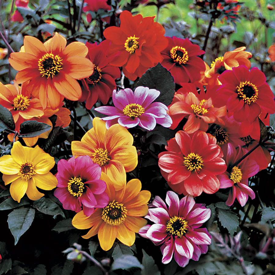 Bishop's Children Dahlia Seeds Image