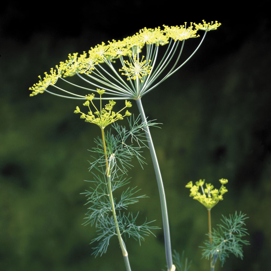 Fernleaf Dill Seeds From Park Seed