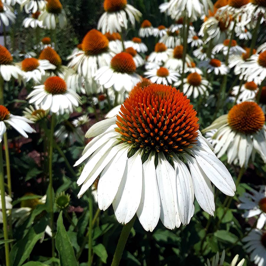 White Swan Coneflower Seeds From Park Seed