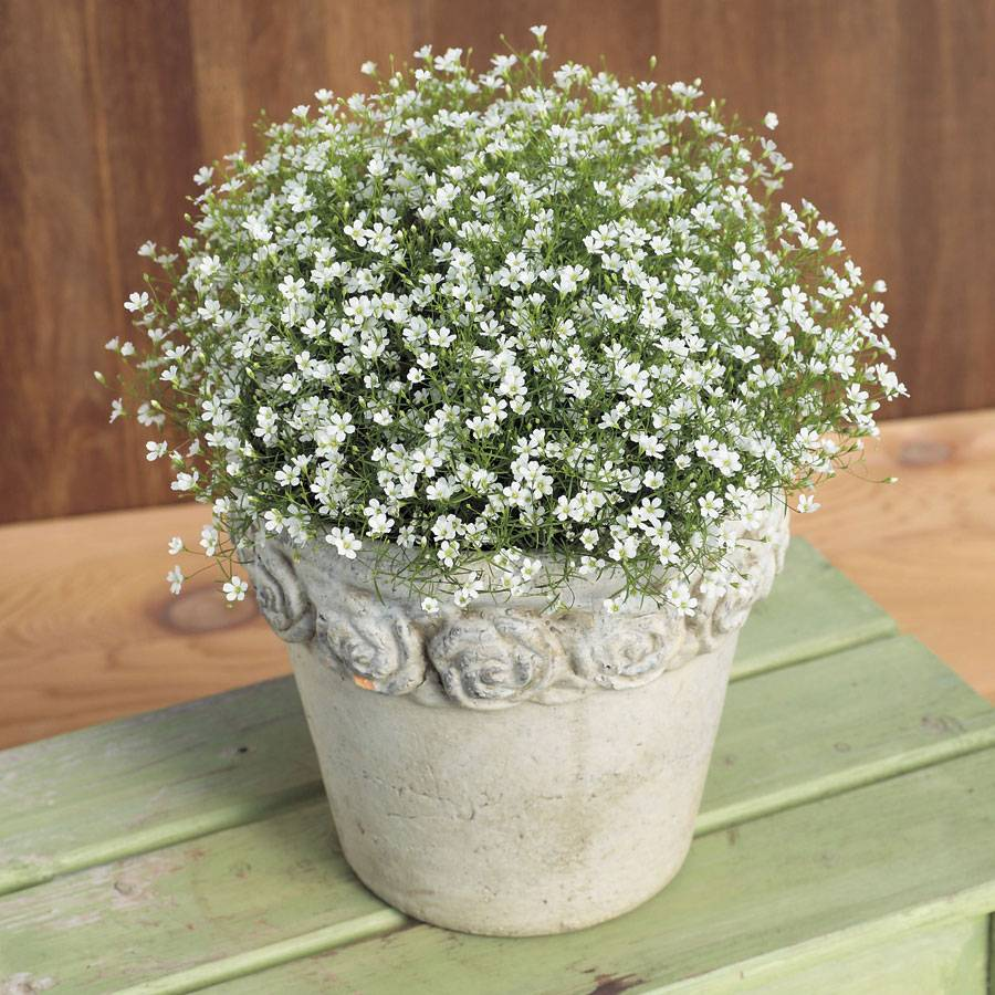 Gypsy White Babys Breath From Park Seed