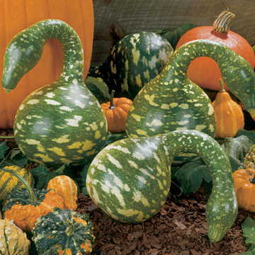 Speckled Swan Gourd Seeds From Park Seed