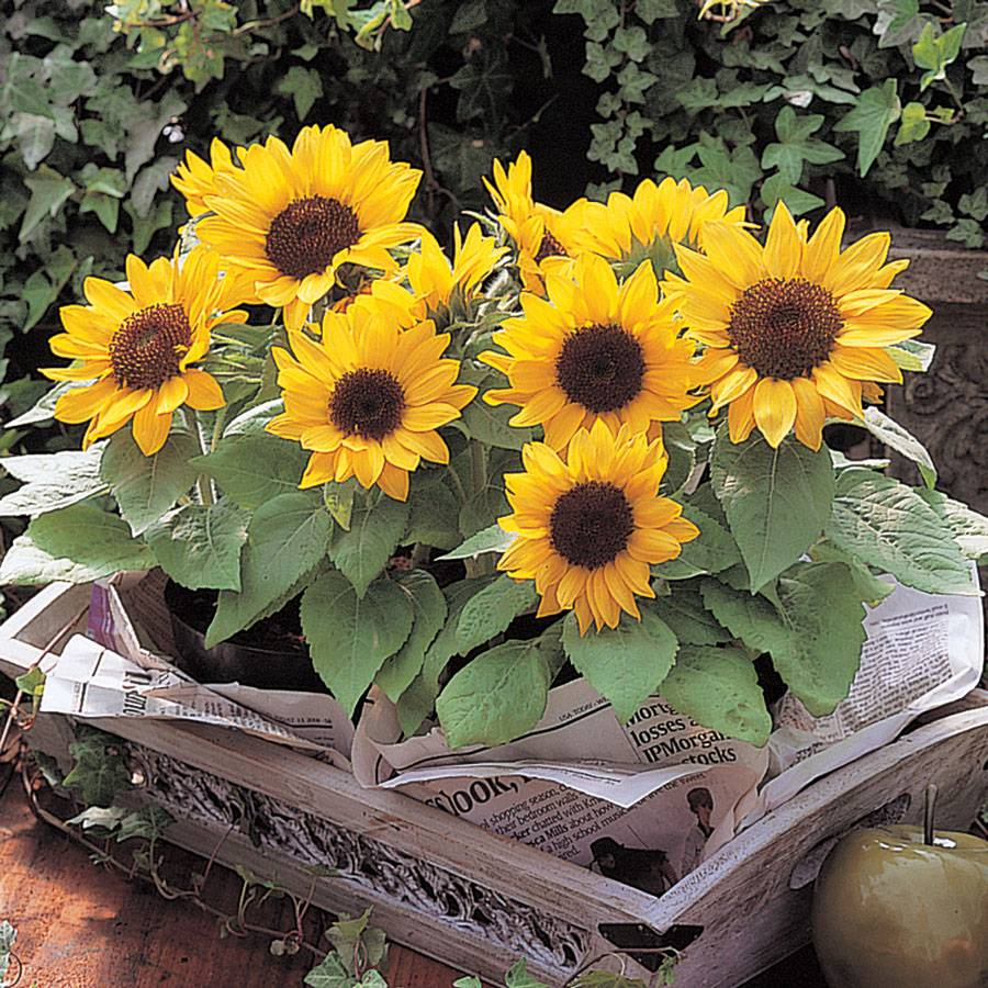 Sunny Smile Sunflower Seeds