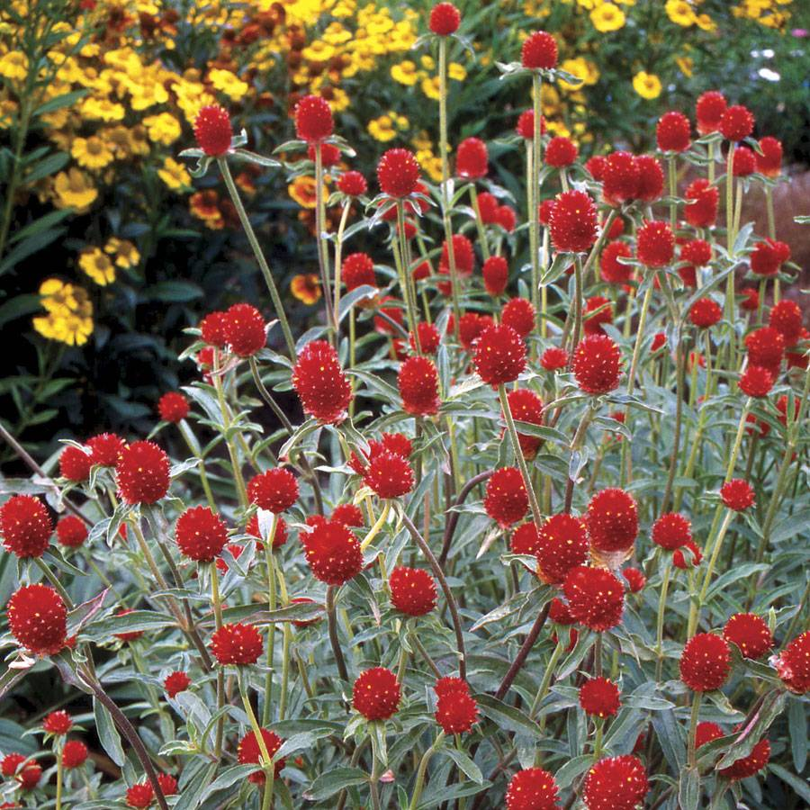 Strawberry Fields Gomphrena Seeds From Park Seed