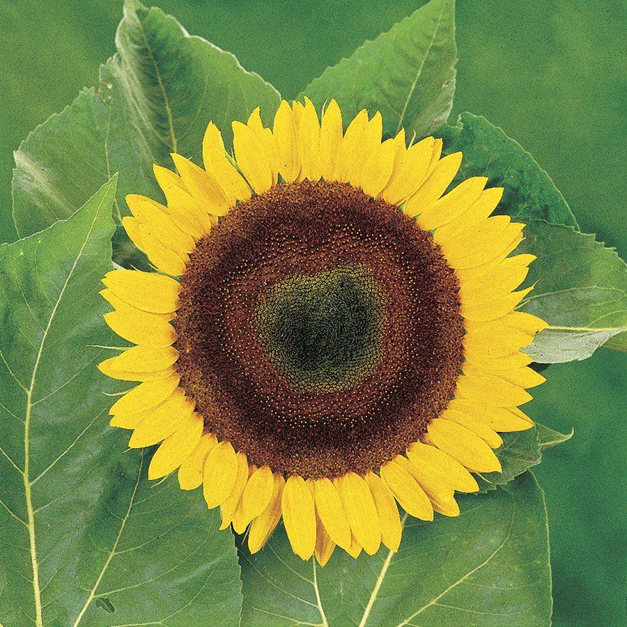 Giganteus Sunflower Seeds Image