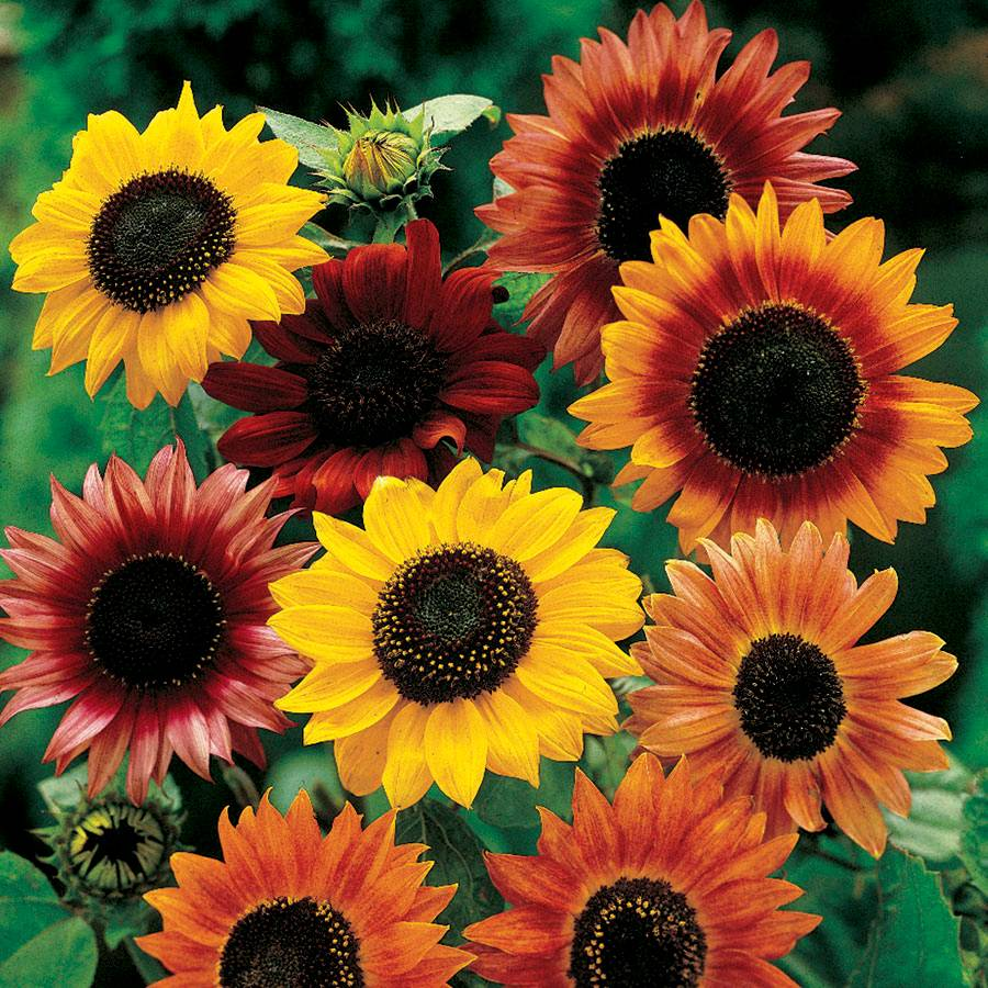 large flowered mix sunflower seeds