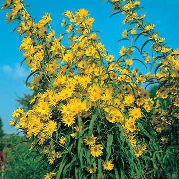 Prairie Sunflower Seeds Image