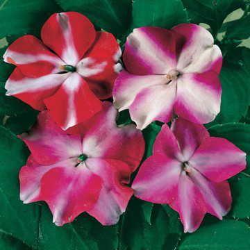 Accent Star Hybrid Mix Impatiens Flower Seeds