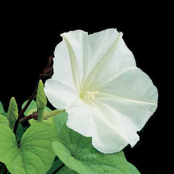 Moonflower Seeds Quickly Grows