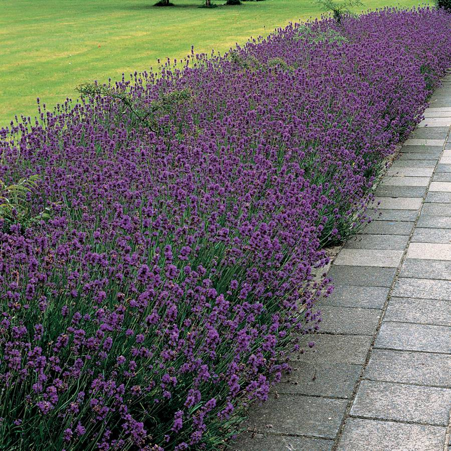 Munstead Lavender Seeds From Park Seed