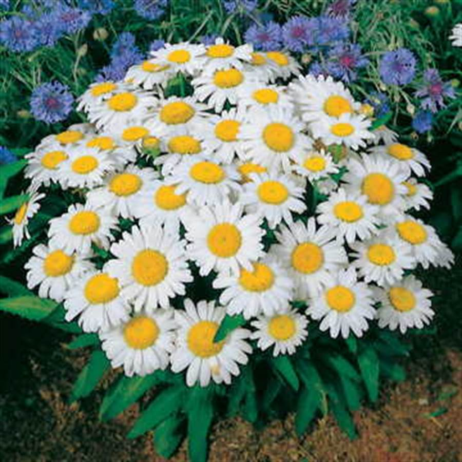Snow Lady Shasta Daisy Seeds From Park Seed