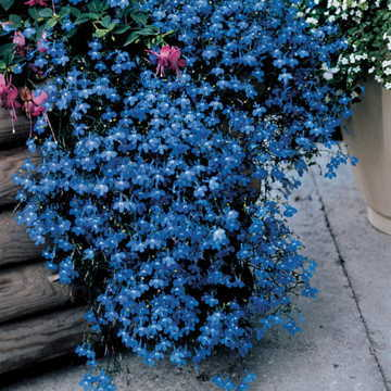 Fountain Blue Lobelia Seeds From Park Seed