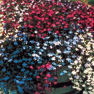 Fountain Mix Lobelia Seeds From Park Seed