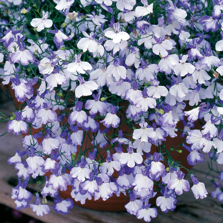 Regatta Blue Splash Lobelia Seeds From Park Seed
