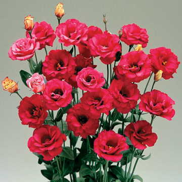 Arena red lisianthus flower seeds mightylinksfo