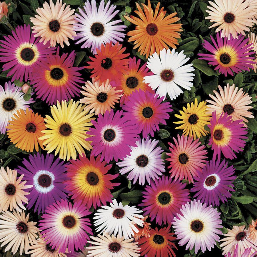 Harlequin Mix Livingstone Daisy Seeds Image