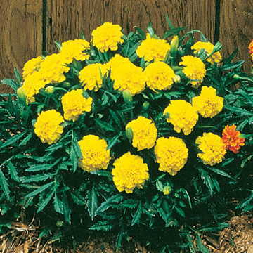 Janie Yellow Marigold Seeds Image