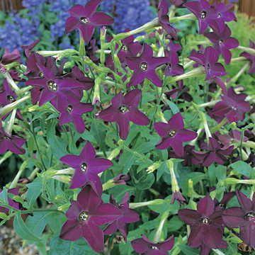 Perfume Deep Purple Hybrid Flowering Tobacco Seeds Image