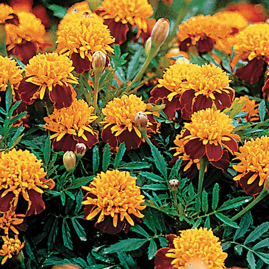 Tiger Eyes Marigold Seeds From Park Seed