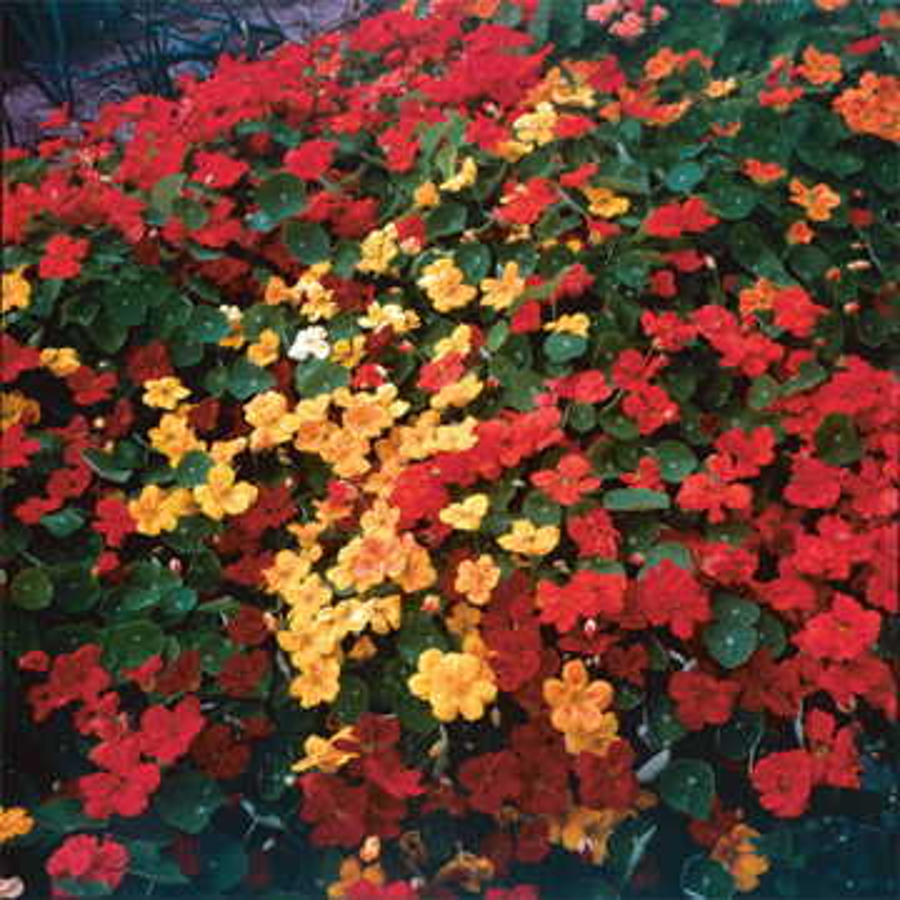 Park's Fragrant Giants Nasturtium Seeds Image