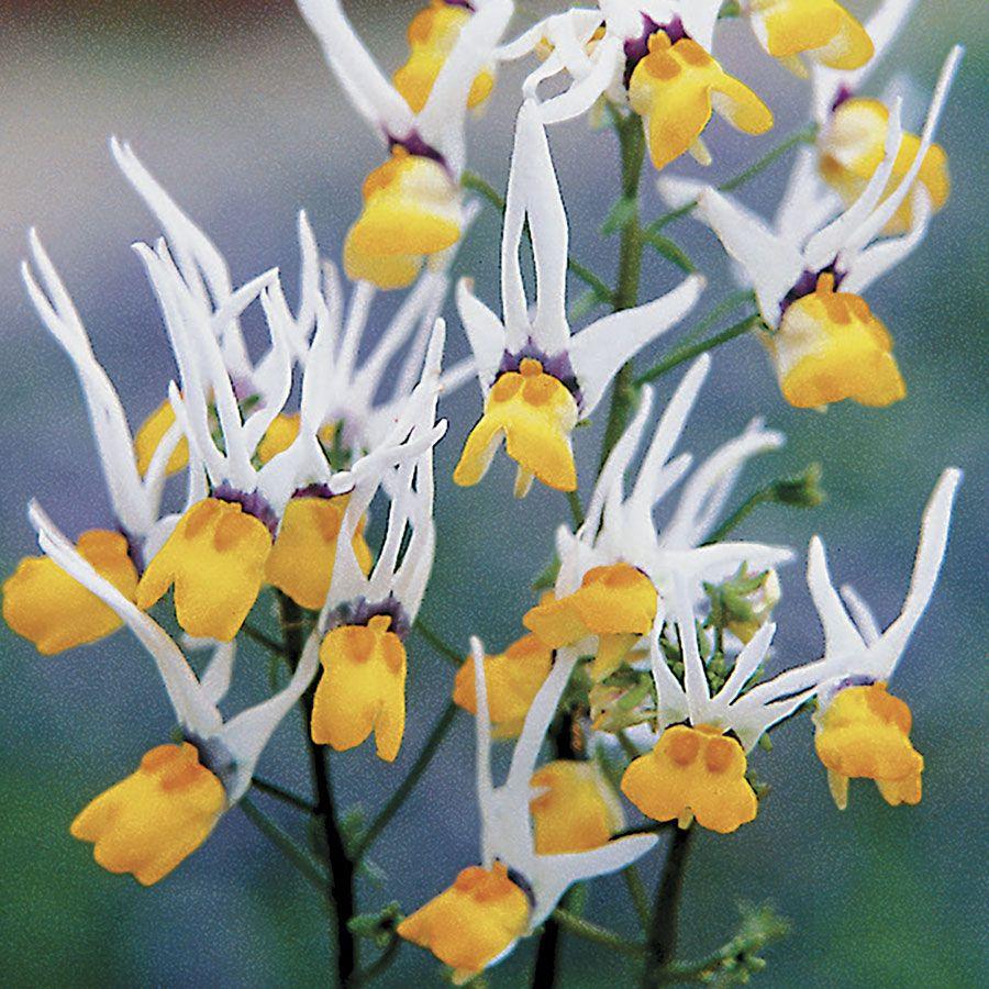 Masquerade Nemesia Flower Seeds Image