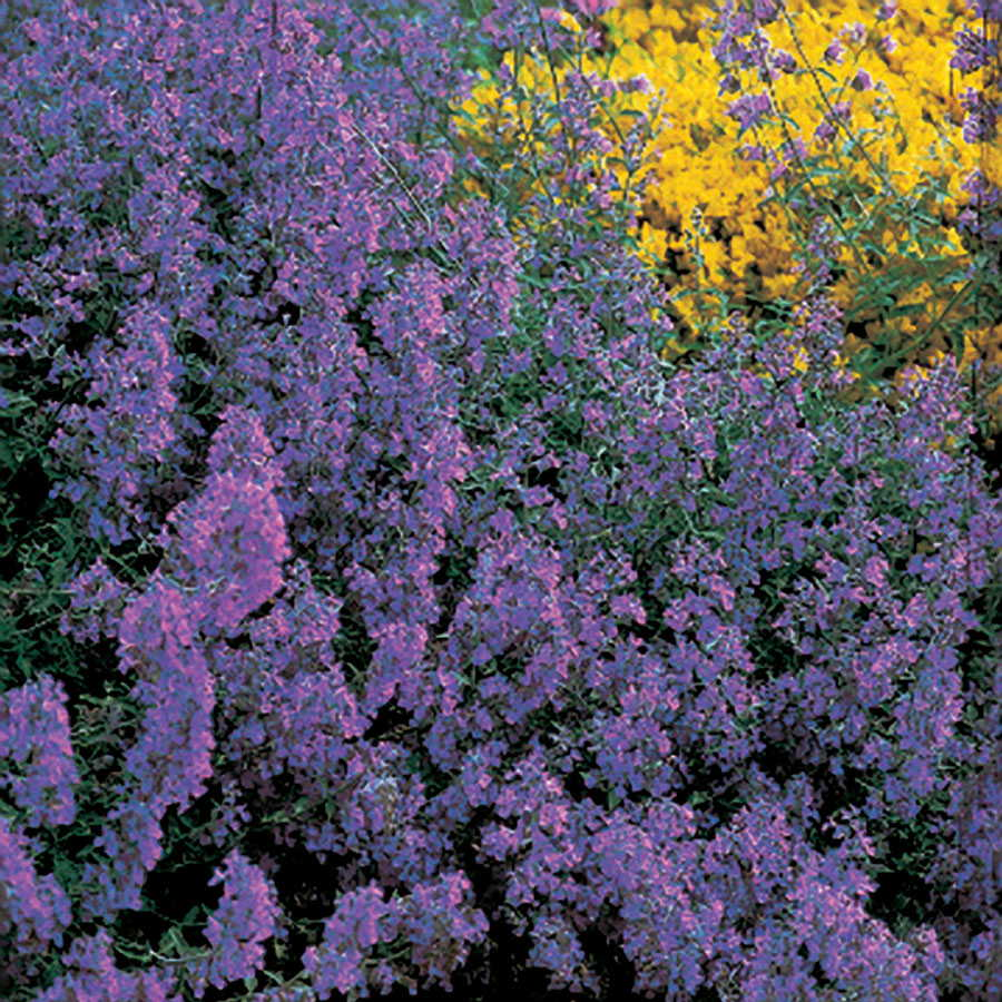 Blue carpet catmint seeds izmirmasajfo