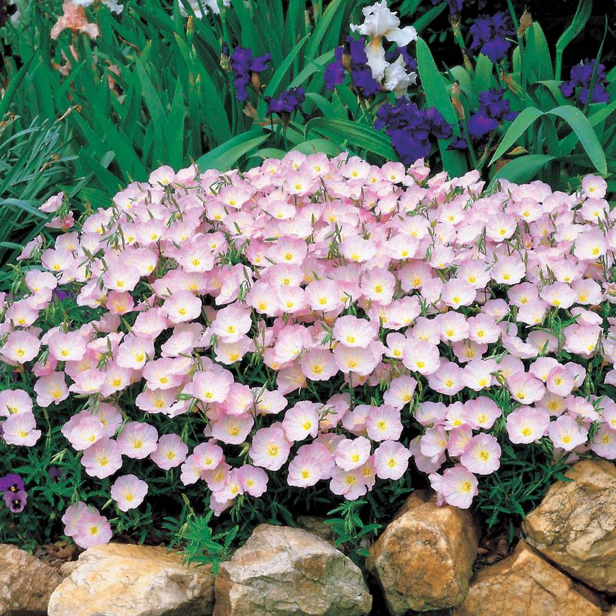 Evening primrose seeds izmirmasajfo