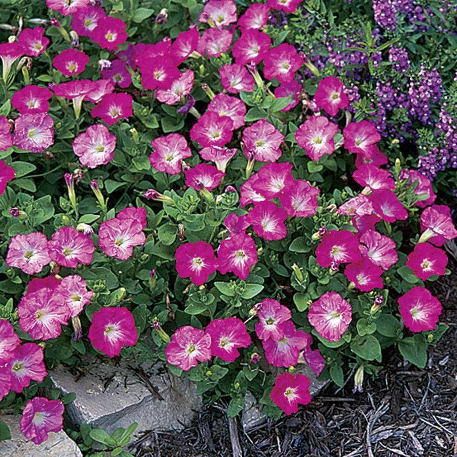 Rosy Dawn Easy Wave Hybrid Petunia Seeds