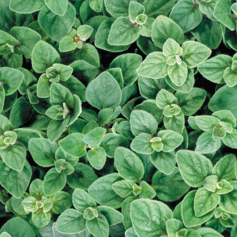 Greek Oregano Seeds from Park Seed