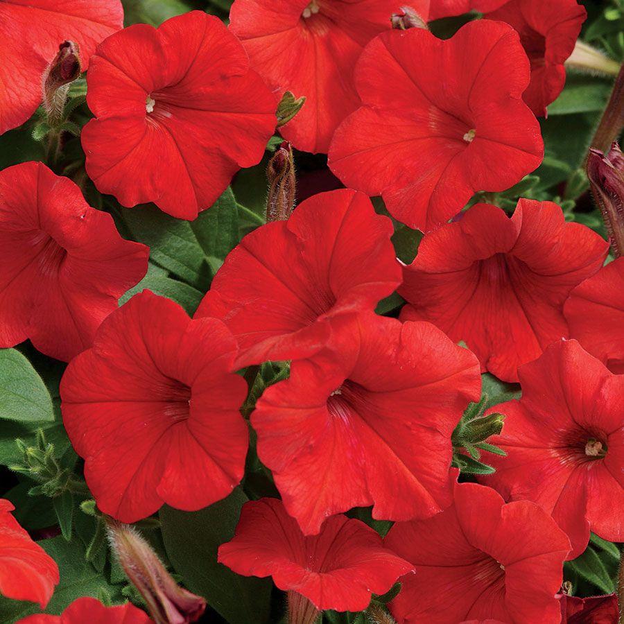 Easy Wave Red Hybrid Petunia Seeds