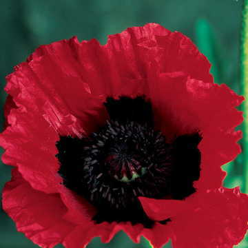Great Scarlet Poppy Seeds