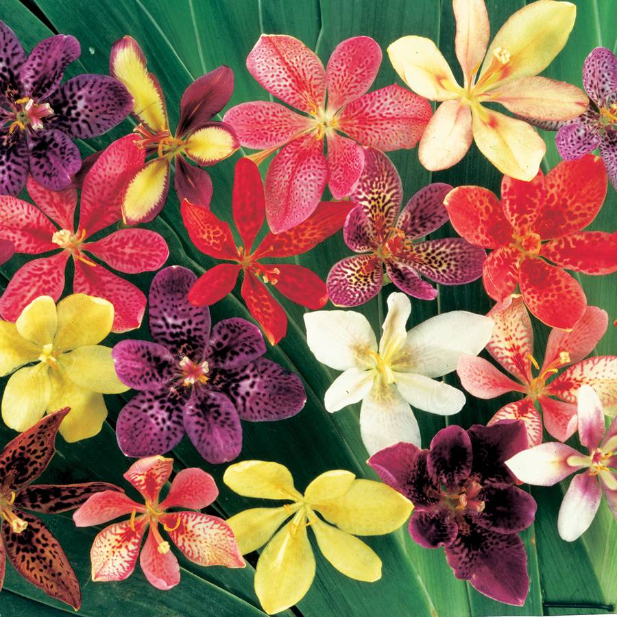 Parks candy lily seeds from park seed exclusive izmirmasajfo
