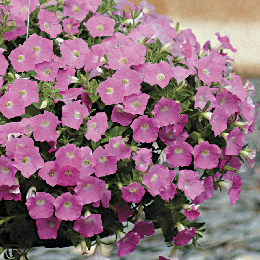 How to grow petunia from seeds - How To Grow Petunia From Seeds 58